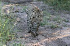 Leopard South African Safari Stock Photos