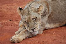 Sleeping Lioness Royalty Free Stock Photos