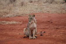 Wild Tired Lioness Royalty Free Stock Photos