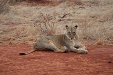 Free Wild Lioness Takes A Rest Stock Photography - 9251302