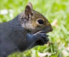 A Squirrel Eats A Nut Royalty Free Stock Photos