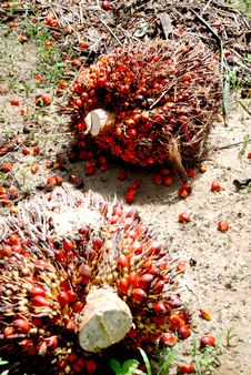 Oil Palm Seed Stock Images