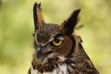 Free Great Horned Owl Stock Photography - 9253192