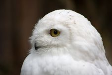Free Snow White Owl Stock Image - 9255951