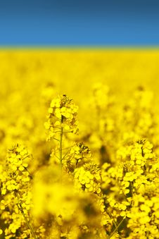 Free Rape Field Stock Image - 9259041