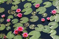 Free Water Lilies Royalty Free Stock Photos - 9259498