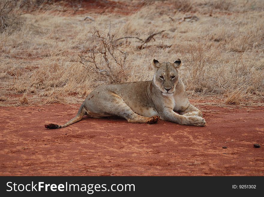 Wild lioness takes a rest
