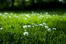 Free Daisies Blooming In A Meadow  Stock Photos - 92525293