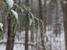 Free Icy Pine Finger Stock Photo - 92589990