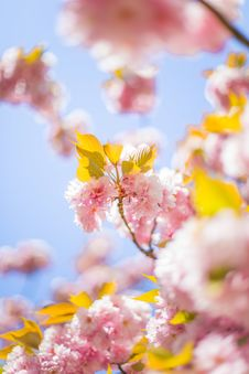 Free Blooming Tree Royalty Free Stock Images - 92590619