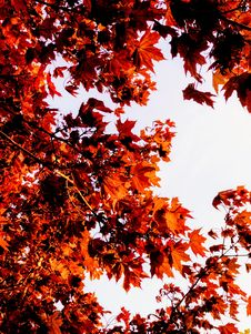 Free Maple Leaves Royalty Free Stock Images - 92590649