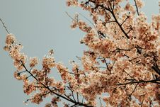 Free Cherry Blossoms  Stock Photo - 92590660