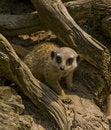Free Curious Meerkat Stock Photo - 9266930