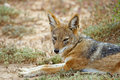 Free Jackal Stare Stock Photography - 9267402