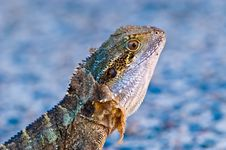 Free Lizard Royalty Free Stock Photo - 9260725