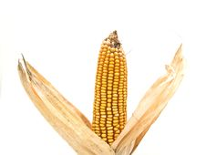 Free Corn Cob Royalty Free Stock Photos - 9260798