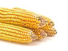 Free Corn Cob Stock Image - 9261461