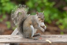 Free Squirrel Eating Royalty Free Stock Photo - 9262105