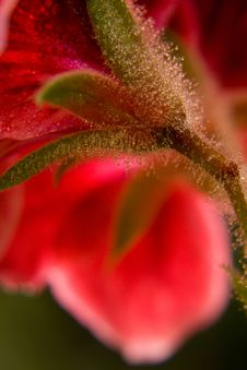 Free Red Flower Macro Shot Stock Images - 9262314