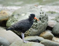Free Young Black Oystercatcher Royalty Free Stock Photography - 9262967