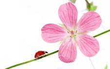 Free Flora And Ladybird Stock Image - 9263601
