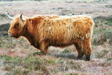 Free Highland Bull Stock Photos - 9265693