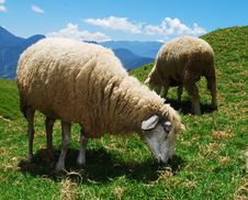 Free Green Grass With Sheep Royalty Free Stock Photo - 9265915