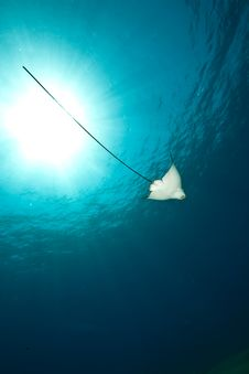 Free Ocean, Sun And Spotted Eagle Ray Stock Photo - 9266420
