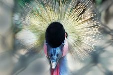 Free Southern Crowned Crane Royalty Free Stock Images - 9267359