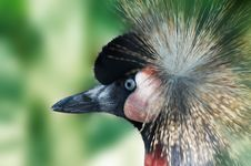 Free Southern Crowned Crane Stock Image - 9267391