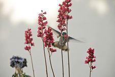 Free Hummingbird And Flower Stock Photo - 9269460
