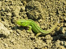 Free Lizard Stock Photo - 9269870