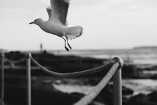 Free Grayscale Photo Of Seagull Flying Over Rope Fence Royalty Free Stock Images - 92653399