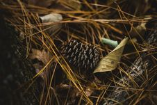 Free Black Pincone On Brown Dried Leaves Stock Images - 92653724