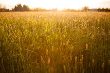 Free Golden Wheat Field At Sunset Royalty Free Stock Image - 92654186