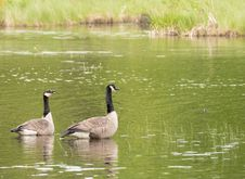 Free Canadian Geese In The Pond Royalty Free Stock Images - 92699339