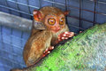 Free A Lone Tarsier Monkey Stock Images - 9271964
