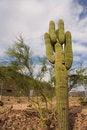 Free Saguaro Cactus Royalty Free Stock Photo - 9278685