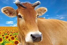Free Red Cow On A Background Of The Sunflowers Royalty Free Stock Photo - 9270845