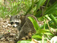 Free Raccoon 3 Royalty Free Stock Image - 9272416