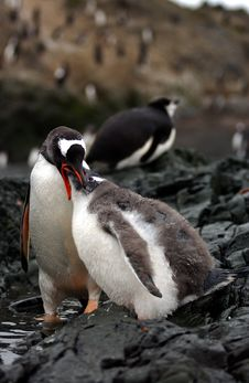Free Gentoo Penguin Stock Photography - 9273232