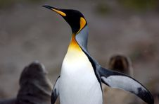 King Penguin Stock Photography