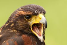 Free Harris Hawk Screaming Stock Images - 9274274