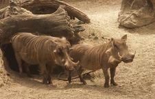 Free Warthogs Leave Their Hole For A Stroll Stock Images - 9275804
