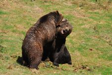 Free Brown Bears In Fight Stock Photos - 9276133