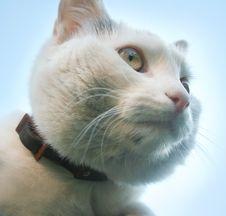 Free White Cat Royalty Free Stock Photo - 9276965