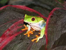 Free Red Eyed Tree Frog Stock Photo - 9277790