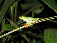Free Red Eyed Tree Frog Stock Images - 9277794
