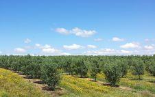 Free Olives Tree . Stock Photography - 9278332