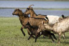 Free Goats Stock Image - 9278341